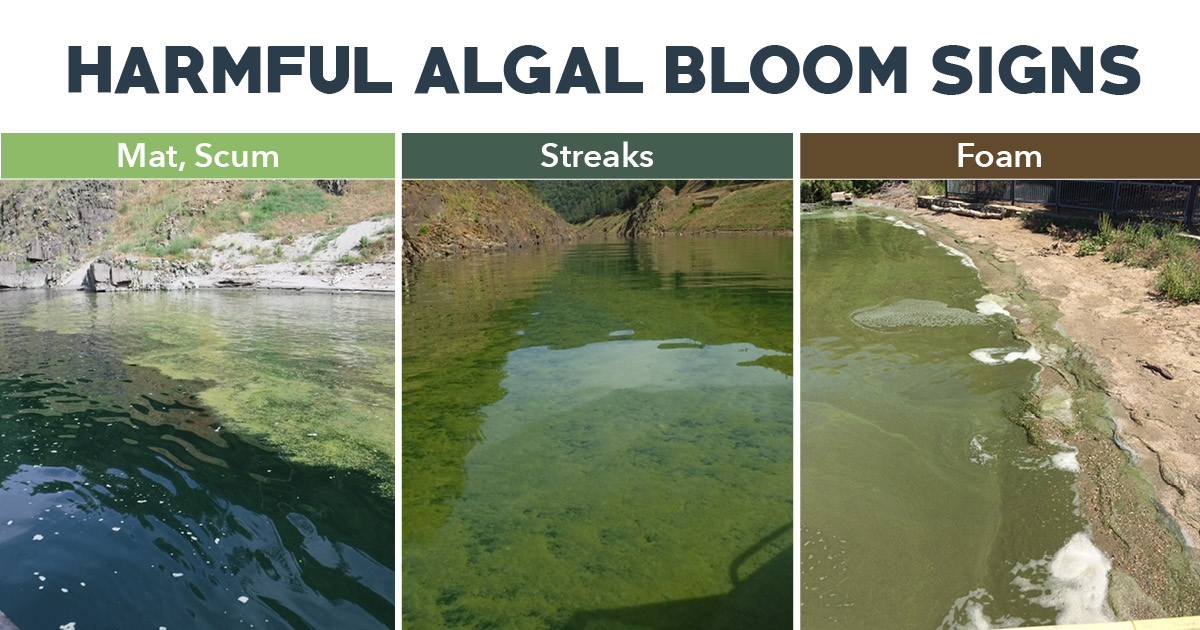 If you're spending time on waterways this weekend, remember to stay away from algae. Certain types produce toxins that can make people & animals sick. One sign that the blue-green algae has become a Harmful Algal Bloom (HAB) is shape. More info on HABs: https://water.ca.gov/What-We-Do/Recreation/Algal-Blooms